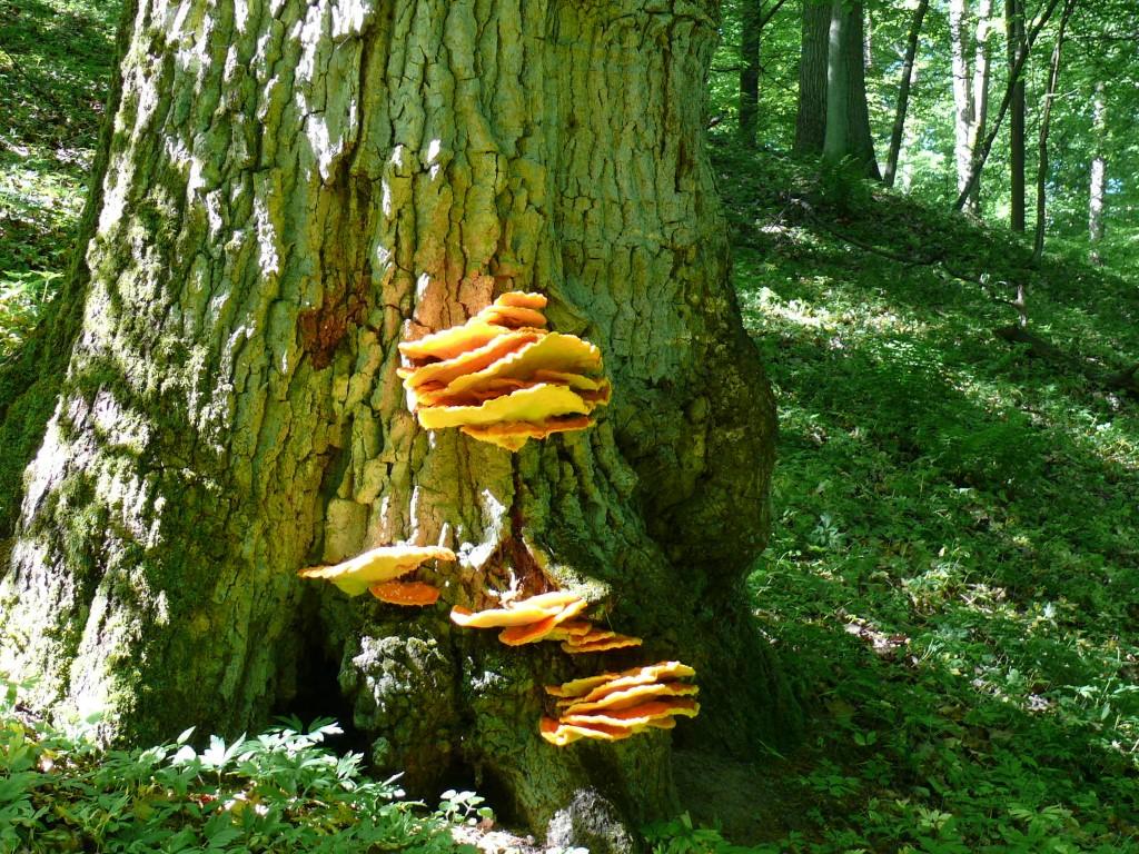 górznieńsko-lidzbarski, park, krajobrazowy, drzewo